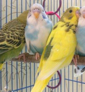 Малыши волнистых попугаев
