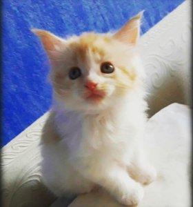 Девочка котенок Мейн кун