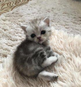 Шотландский котик