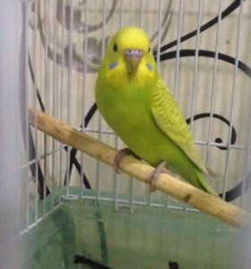 Папугайчик