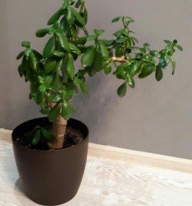 Денежное дерево - бонсай
