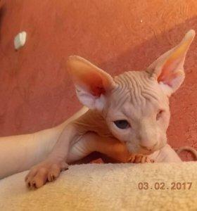 Кот сфинкс слепой