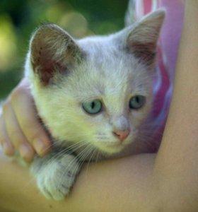Котёнок тэбби-пойнт