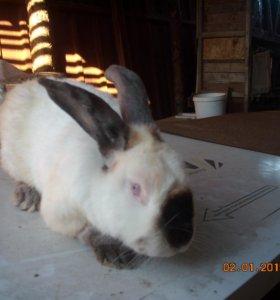 Продам кролика самца (Калифорния )