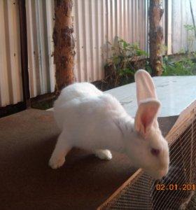 Продам кролика самца (Великан )