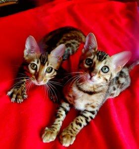 Бенгальские котята.Девочки
