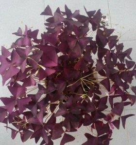 Цветок Оксалис