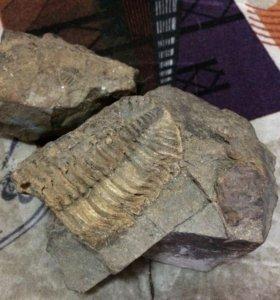 Трилобит (период палеозоя 600млн лет до нашей эры)