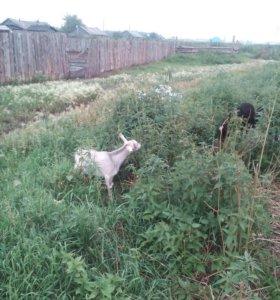 Козлята от дойной козы