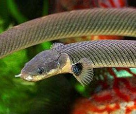 Каламоихт калабарский (Erpetoichthys calabaricus)