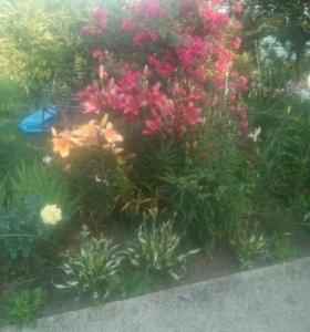 Лилейники и лилии