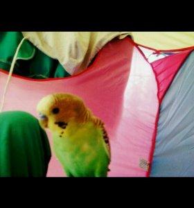 попугай кличка кеша
