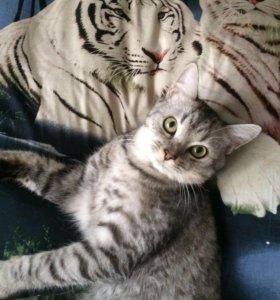 Шотландский  кот.вязка.