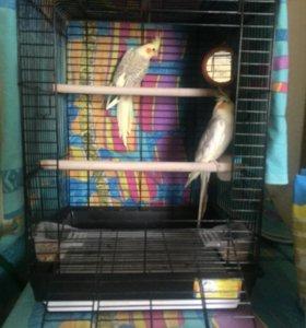 2 попугая корелла с клеткой