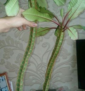Растение Молочай