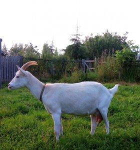 Дойные козы и козлята.