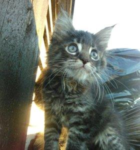 Продаю крупных котят Мэйн-кунов