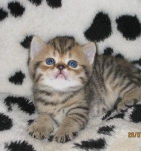 Британские котята черепахового окраса...