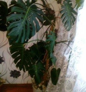 """Растение """" Монстера"""" полностью цветок"""