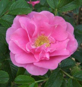 Роза морщинистая (шиповник)