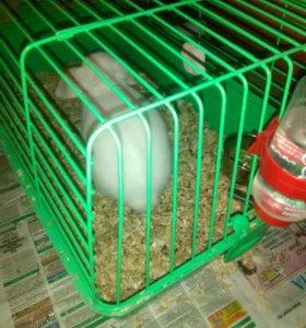 Продам веслоухова кролика