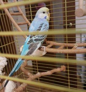 Попугай волнистый птенец