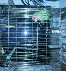 Попугай розовощекий неразлучник с клеткой