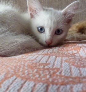 отдам белого котёнка в добрые руки