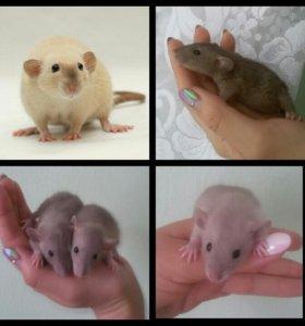 Редкие крыски Дамбо ( Делаю бронь )