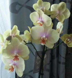 Для любителей орхидей