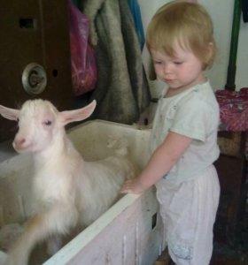 Продаются Заанинские козы