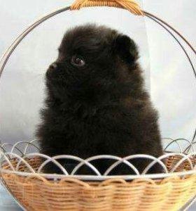 Продаются щенки померанского шпица.