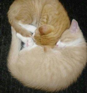 Рыжие солнечные котята