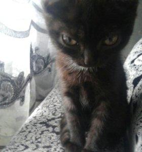 Продам шатландского котёнка