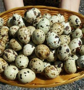 Перепелиное яйцо домашнее