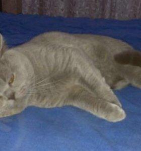 Вязка с шотландским короткошерстным котом