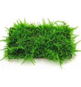 Мох рождественский (Christmas Moss)
