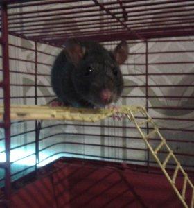 Ручная крыска