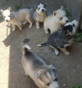 продаются щенки породы Сибирской хаски.
