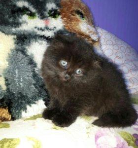 Шоколадный котёнок
