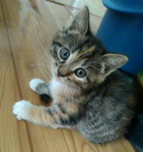 Трехцветные пушистые котята