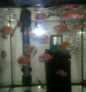 Рыбки розовая зебра малек 2-2,5 см