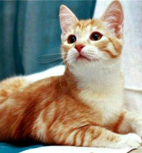 Самый ласковый абрикосовый котенок в дар