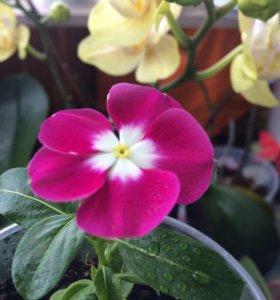 Комнатный цветок КАТАРАНТУС