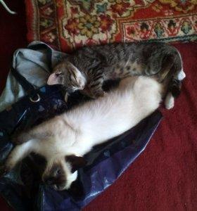 Котята одна чисто сиамская