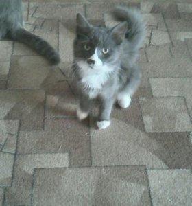 Кот шотландский (вислоух)кошка обычная,красивая