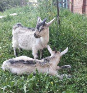 Продам козлика и козачек