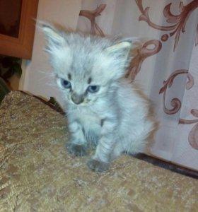 Котята от отличной кошки мышеловки