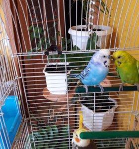 Молодая пара попугайчиков