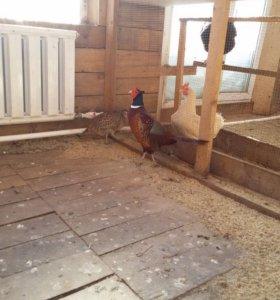 Продам фазанов.